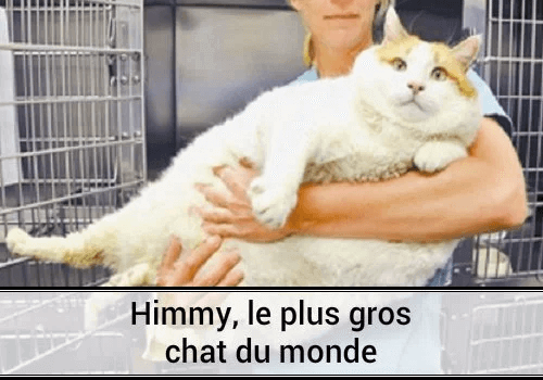 Himmy le chat le plus gros au monde des hommes et des - Quel est le nom le plus porte au monde ...