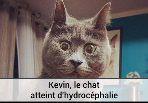 Kevin le chat atteint d 39 hydroc phalie des hommes et des chats - Images de chats rigolos ...