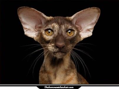 Le chat siamois oriental image de chaton siamois chaton siamois chaton oriental chat siamois - Chaton tonkinois ...