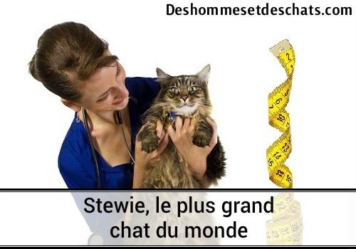 Steewie Record Le Plus Grand Chat Du Monde Chat Drôle Chat