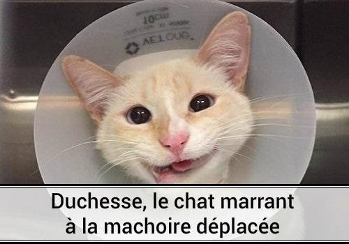 Duchesse le chat marrant la m choire d plac e des hommes et des chats - Images de chats rigolos ...