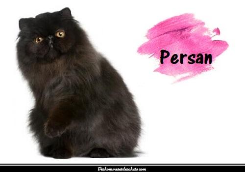 le chat persan un chat de race d 39 exception des hommes et des chats. Black Bedroom Furniture Sets. Home Design Ideas