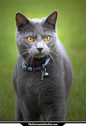 Chartreux chat chartreux prix chats chartreux chaton chat - Chaton marrant ...
