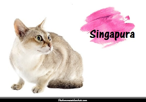 Le singapura des hommes et des chats - Comment empecher un chat d uriner partout ...