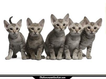 ocicat prix chat poil court toute race de chat race chat en photo chaton toutes les race de. Black Bedroom Furniture Sets. Home Design Ideas